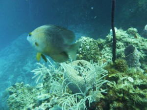 P1020897 Damselfish